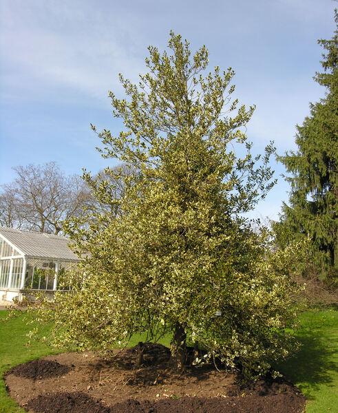 Ilex aquifolium L. 'Aureo-marginatum'