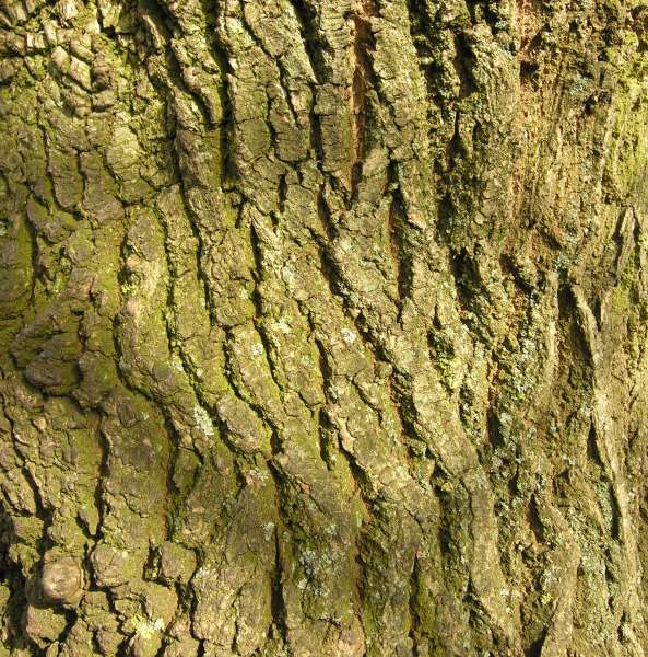 Quercus robur L. subsp. robur