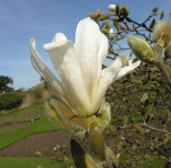 Magnolia stellata (Siebold & Zucc.) Maxim.