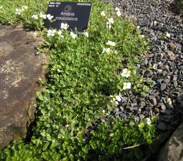 Arabis alpina L. subsp. caucasica (Willd.) Briq.