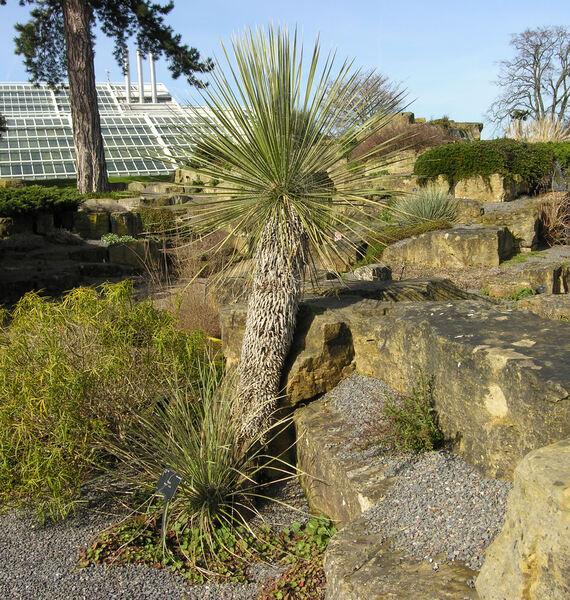 Yucca glauca Nutt. var. glauca