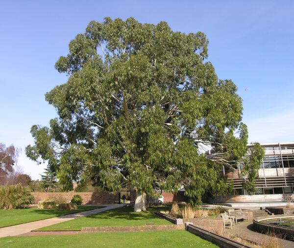 Eucalyptus dalrympleana Maiden
