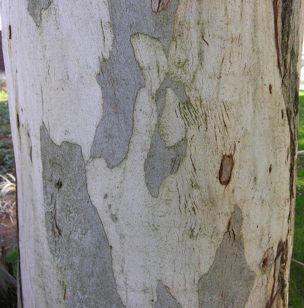 Eucalyptus aggregata H. Deane & Maiden