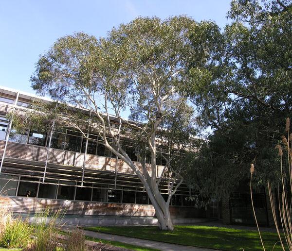 Eucalyptus pauciflora Sieber ex Spreng.