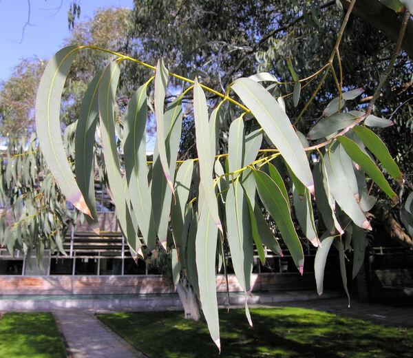 Eucalyptus perriniana F. Muell. ex Rodway