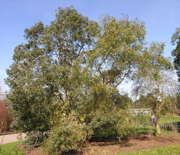 Eucalyptus nitida Hook. f.