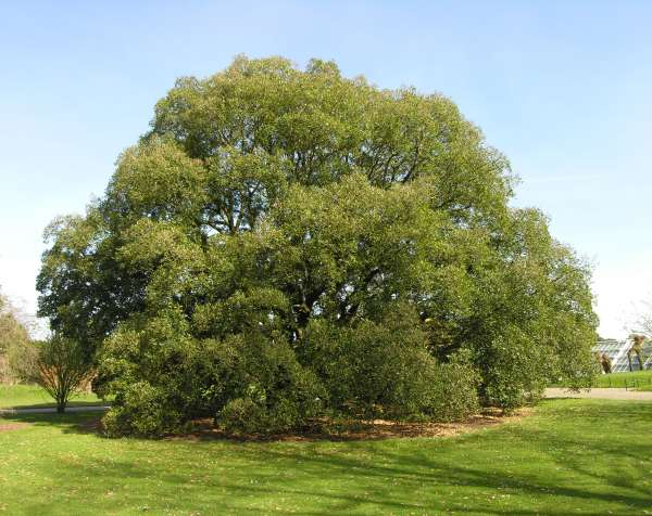 Quercus x turneri Willd.