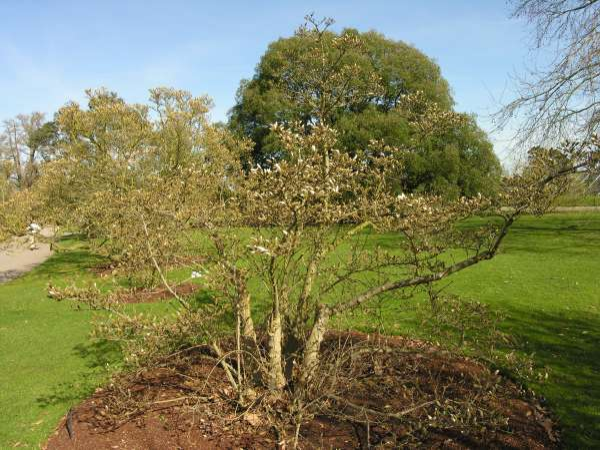 Magnolia x loebneri P. Kache