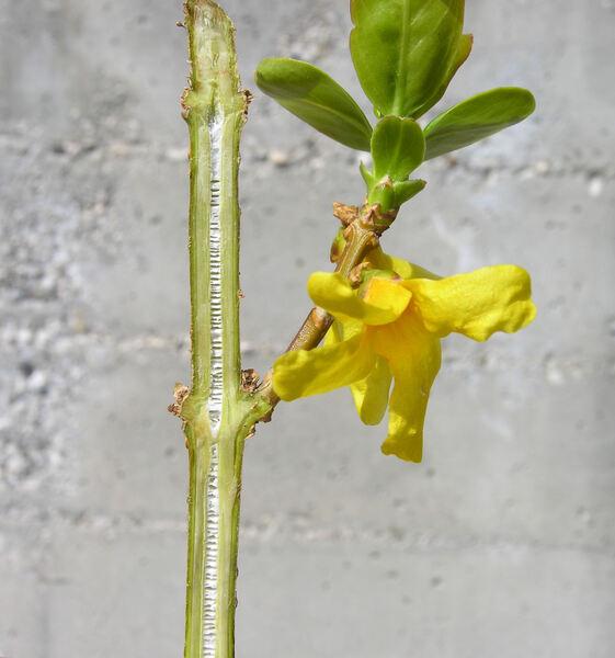 Forsythia sp.