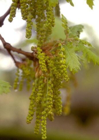 Quercus congesta C.Presl