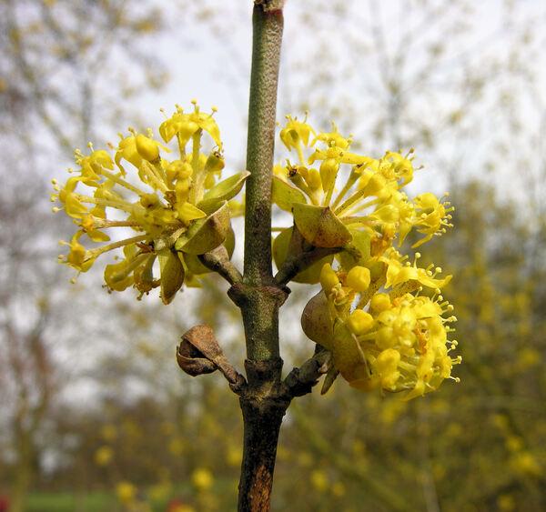 Cornus officinalis Siebold & Zucc.