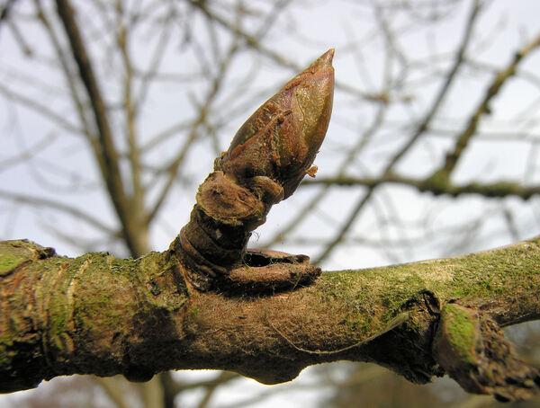Populus lasiocarpa Oliv.