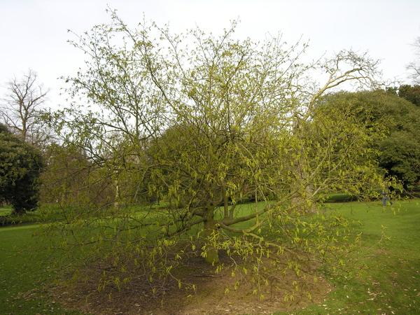Alnus maximowiczii Callier ex C.K.Schneid.
