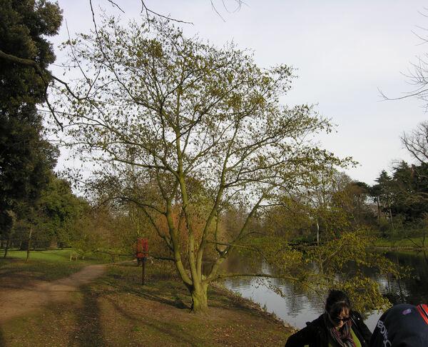 Alnus sieboldiana Matsum.