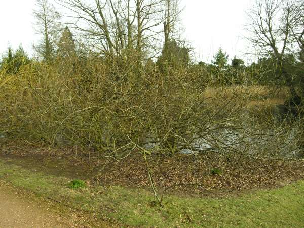 Salix prolixa Andersson