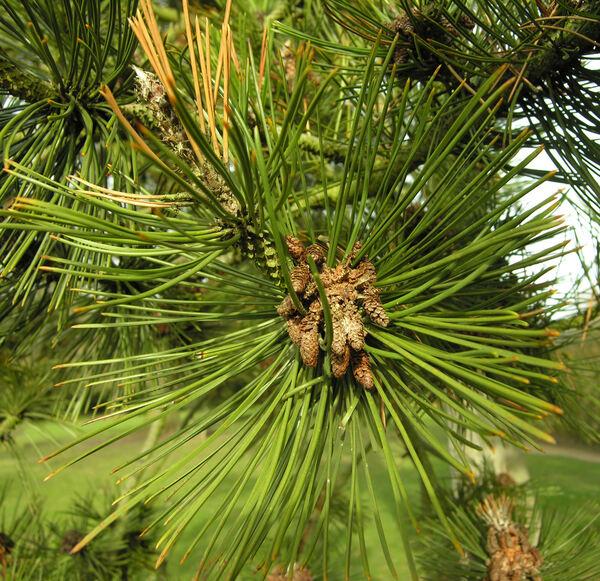 Pinus heldreichii H.Christ