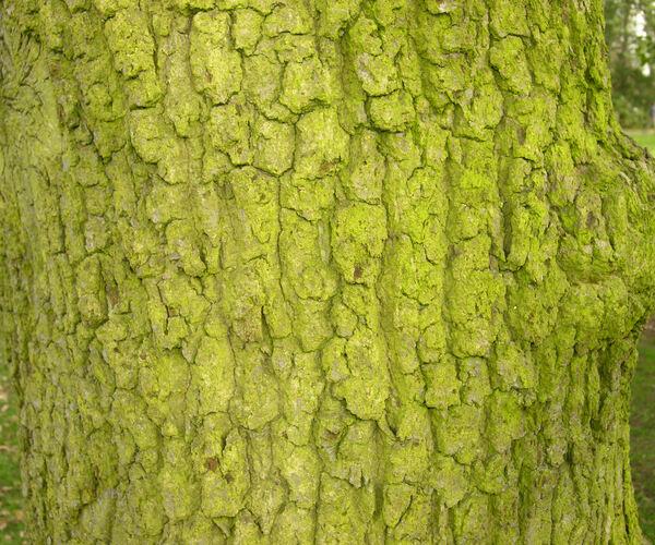 Quercus x rosacea Bechst.