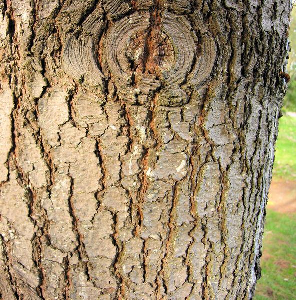 Pinus monticola Dougl. ex D. Don