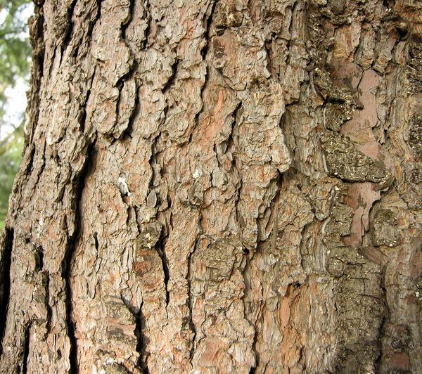 Pinus ayacahuite C.A. Ehrenb.