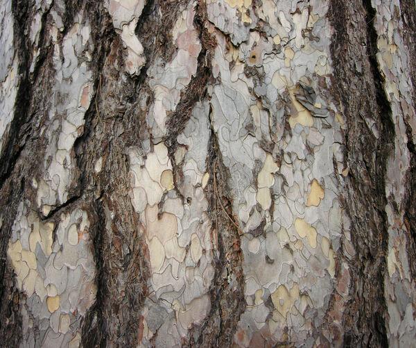 Pinus nigra J. F. Arnold subsp. pallasiana (Lamb.) Holmboe