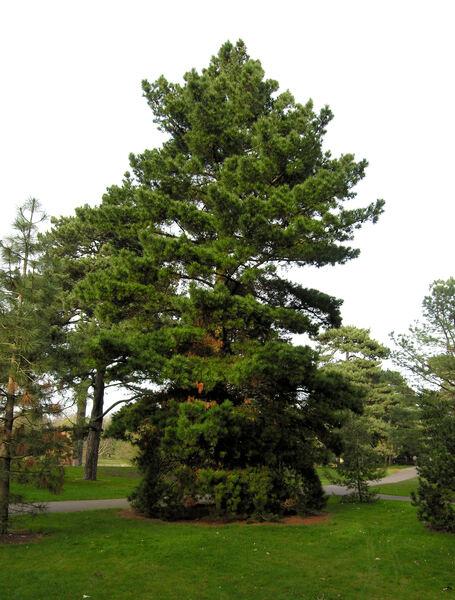 Pinus nigra J.F.Arnold subsp. laricio Palib. ex Maire