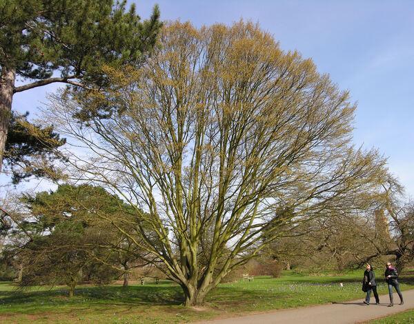 Carpinus betulus L.