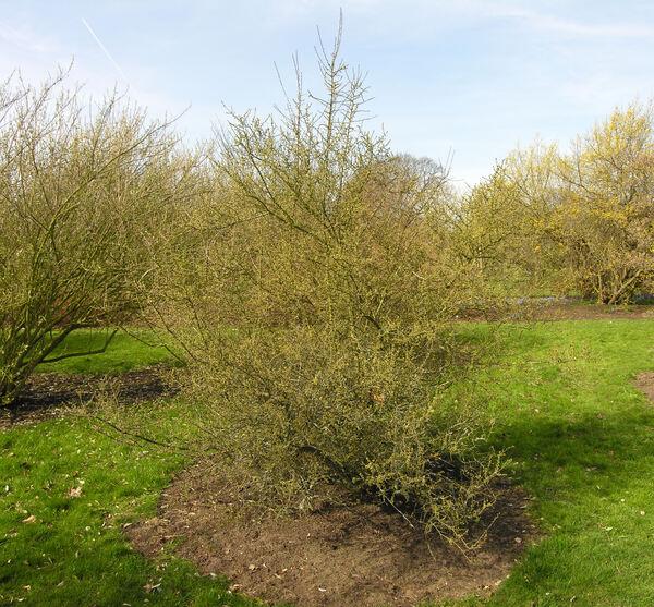 Prunus tenella Batsch. f. gessleriana (G. Kirchn.) Rehder