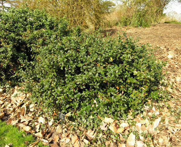 Berberis hookeri Lemaire
