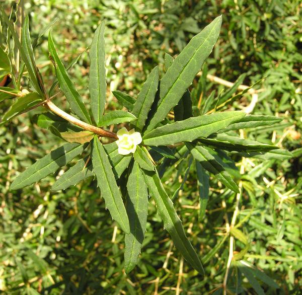 Berberis panlanensis Ahrendt