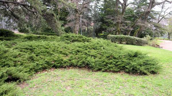 Juniperus horizontalis Moench
