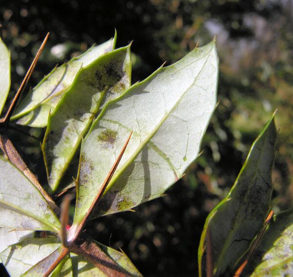 Berberis × watlingtonensis Ahrendt