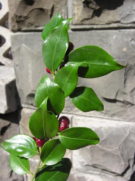 Sarcococca ruscifolia Stapf