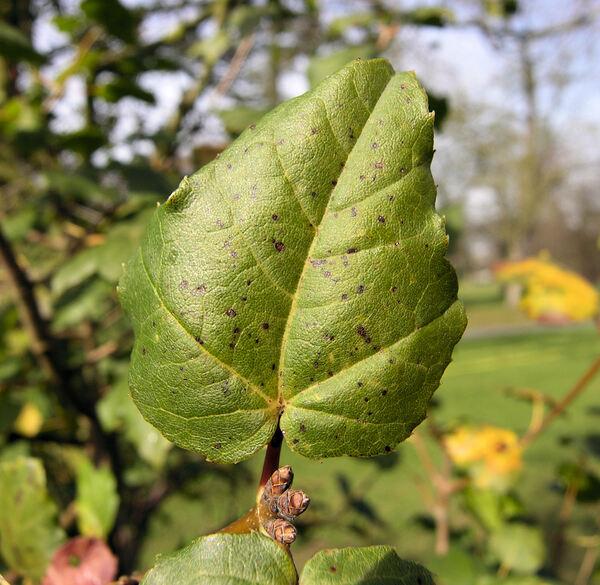 Acer sempervirens L.