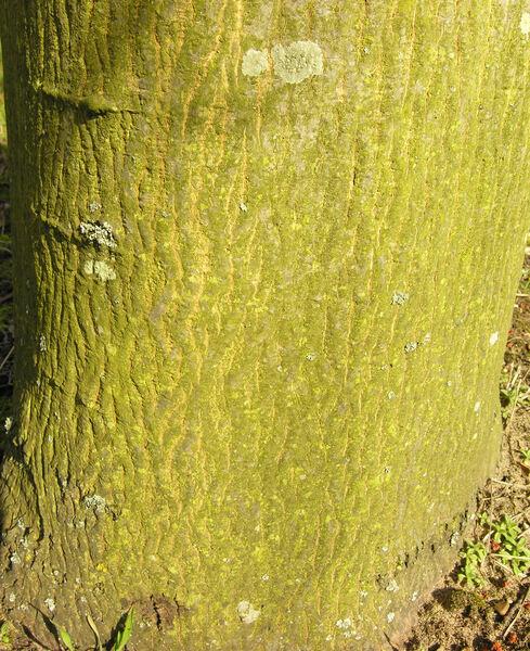 Acer cappadocicum Gled. subsp. sinicum (Rehder) Handel-Mazzetti