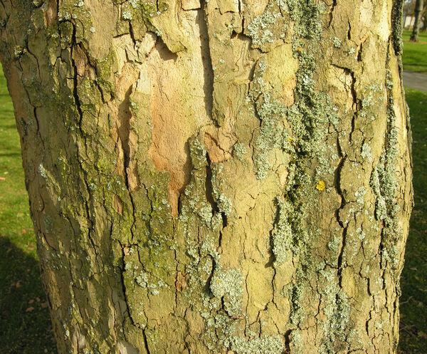 Platanus orientalis L. var. insularis A. DC.