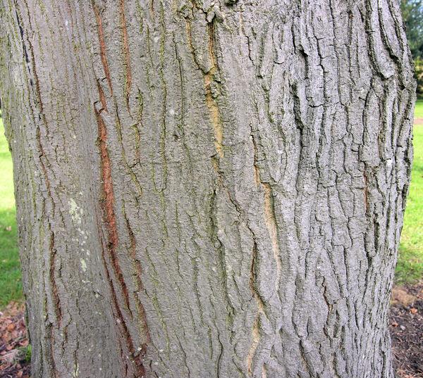 Acer cappadocicum Gled. subsp. cappadocicum