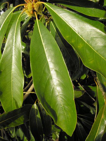 Lindera megaphylla Hemsl.