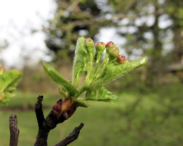 Crataegus macrocarpa Hegetschw.