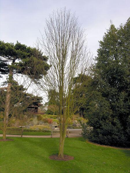 Sorbus japonica Siebold var. calocarpa Rehder