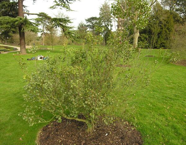 Prunus ilicifolia (Nutt. ex Hook. & Arn.) Walp.