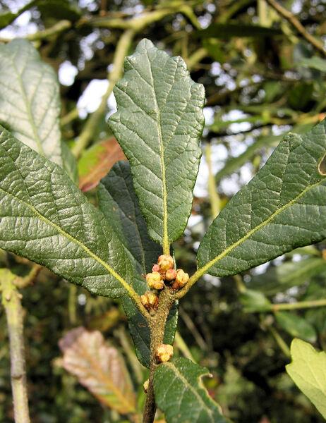 Quercus ilex L. subsp. rotundifolia (Lam.) Tab. Morais