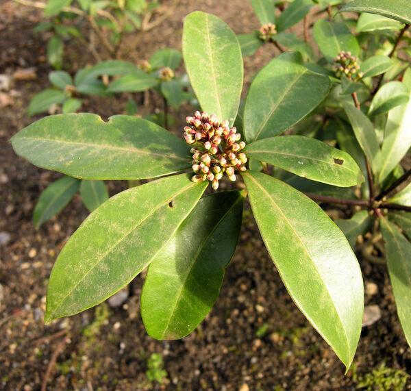 Skimmia japonica Thunb.