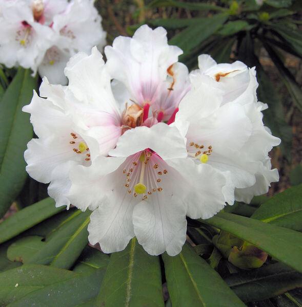 Rhododendron floribundum Franch.
