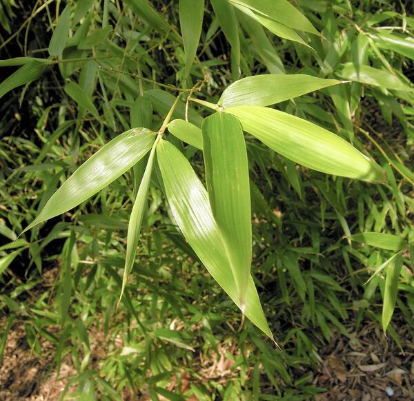 Phyllostachys viridiglaucescens (Carrière) Rivière & C.Rivière