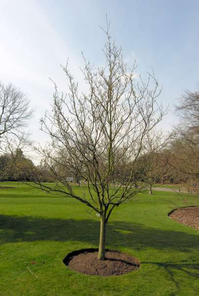 Sorbus alnifolia (Siebold & Zucc.) K. Koch