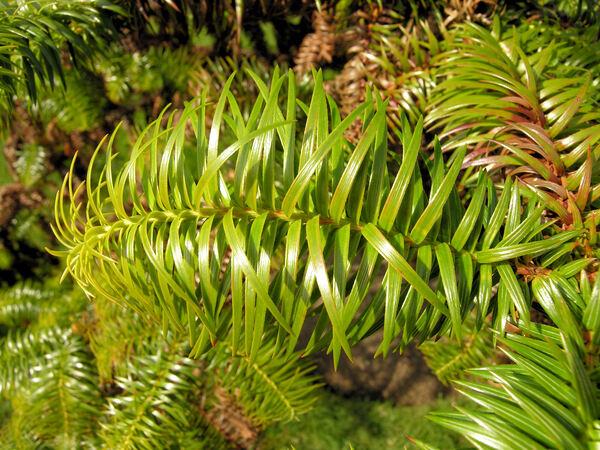 Cunninghamia konishii Hayata
