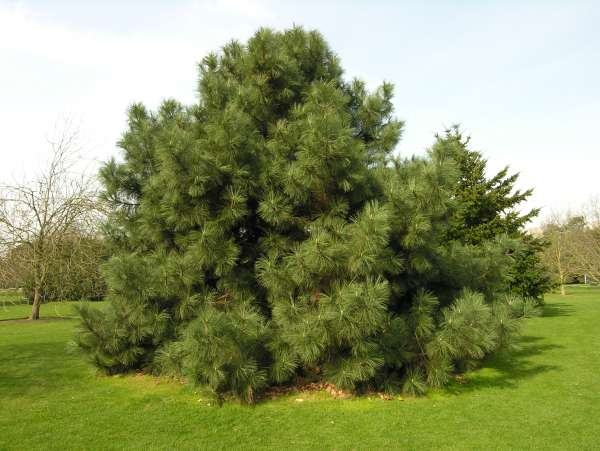 Pinus coulteri D. Don