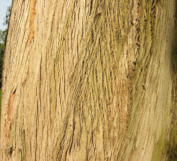 Eucalyptus chapmaniana Cameron