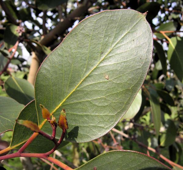 Eucalyptus alpina Lindl.