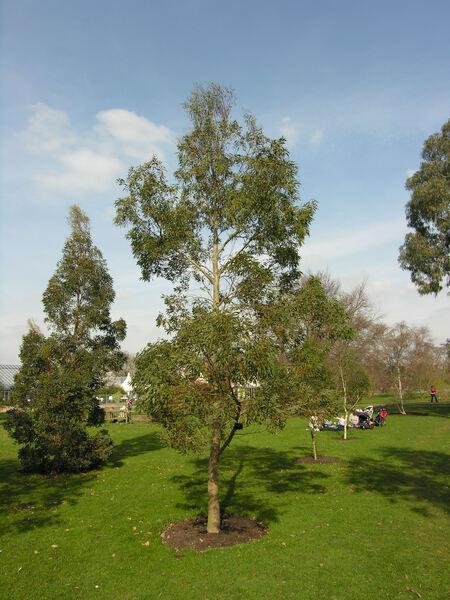 Eucalyptus archeri Maiden & Blakely